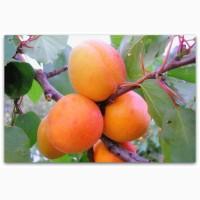 Продам свежий абрикос из сада, сорт Мелитопольский ранний (краснощекий)