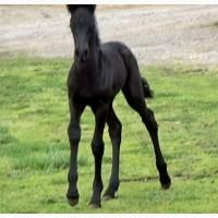 Черный фризский кобель, Прекрасный 1 год