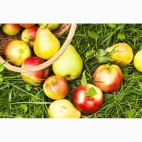 Закупка яблок и груш
