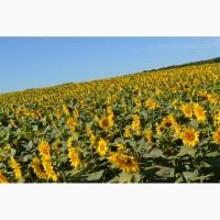 Продам семена подсолнечника Рекольд под гранстар, 110-112 дне