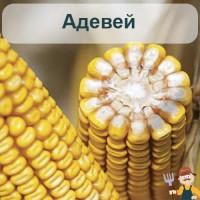 Насіння кукурудзи Адевей