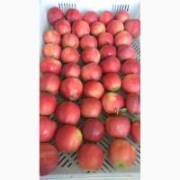 Яблоко сорт Гала