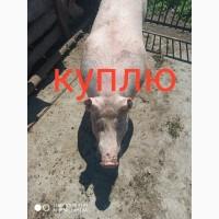 Куплю Хряков на мясо