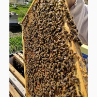 Бджолопакети карника бакфаст карпатка(доставка в другие города)