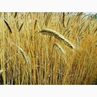 Новый урожай. Куплю пшеницу