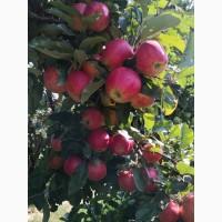 Продаємо гарні та смачні яблука врожаю 2021