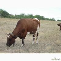 Продам корів