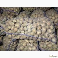 Продам семенной картофель сорт Бела Роса, Санте