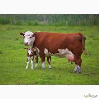 Комбикорм для дойных коров и откорма бычков от производителя в Одессе