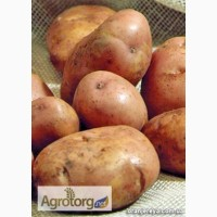 Купуйте насіннєву картоплю від ФХ «Царіцино» (Черкаси)