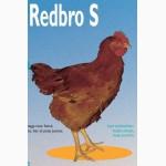 Суточные цыплята мясо-яичной породы Рэд Бро и Голошейка. с вакцинацией от Марека