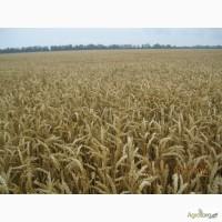 Пшениця дворучка Леннокс (Штрубе, Німеччина) - альтернативна пшениця для осінньо-весняного