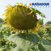 Семена подсолнечника Маисадур Семанс Maïsadour Semences