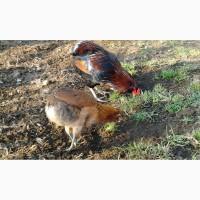 Араукан инкубационные яйца