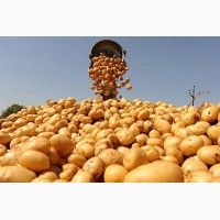 Закупка картофеля на экспорт