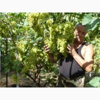 Черенки винограда/Супер элитные сорта