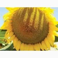Посівний матеріал соняшнику ОСМАН під євро-лайтнінг