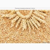 Пшеница (4 класс)
