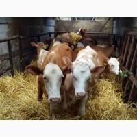 Фермерское хозяйство реализует телят