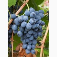 Продам виноград, сорт Молдова, товарный, на сок, вино