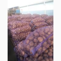 Продам картофель качество 99.9% белороса/славянка/пикасо