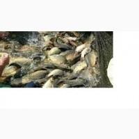 Продам живую рыбу малька: Суда, карп, толстолоб, сом, амур
