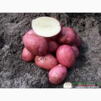 Семенной картофель, 5кг и 25 кг