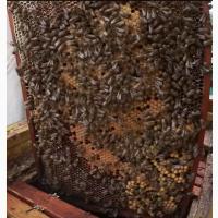 Продам бджолосім`ї, продам бджоли українська степова, Черкаська обл, ціна договірна