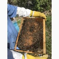 Пчёлопакеты с пасеки, карпатка и карника(доставка в другие города)