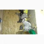 Продам Цыплята Доминант чешский 3 Недели (куры несушки)