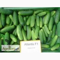 Продам семена огурец Атлантис