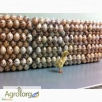 Инкубационные яйца перепела породы: Техасец и Фараон