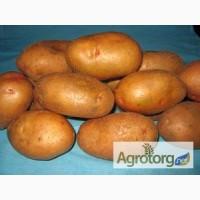 Купуйте в Полтаві оптом насіннєву картоплю. Виробник – ФХ «Царіцино»