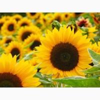 Пропонуємо насіння соняшнику Ясон