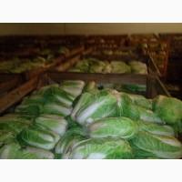 Продам пикинскую капусту от производителя, Дніпропетровська обл