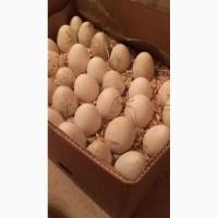 Яйцо инкубационное яйцо