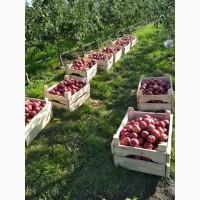 Яблука (ЕКО)