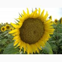 Продам семена подсолнечника под гранстар Солтан, 115-120 дней