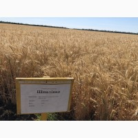 Пшеница Шпаловка семена озимой пшеницы