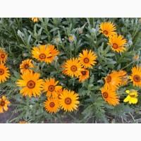 Насіння квітів Диморфотеки помаранчевої