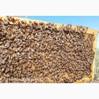 Пчёлопакеты бджолопакети пчелосемьи карника карпатка (доставка в другие города)