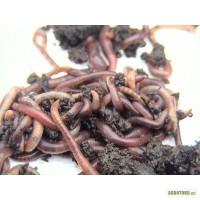Продам червя Старателя для производства биогумуса.Кривой Рог