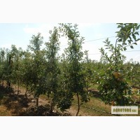 Продам саженцы яблони для посадки прибыльного сада