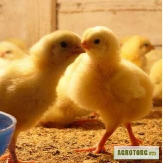 Пропродам суточных и подрощенных цыплят бройлеров Кооб 500