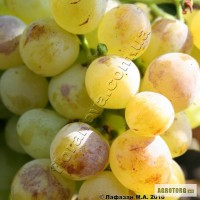 Продам виноград оптом.