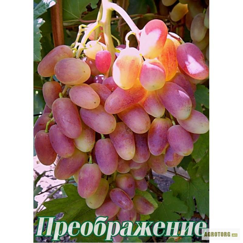 Виноград Преображение Описание Сорта Фото