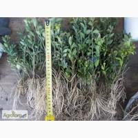 Самшит, буксус ( Buxus) саженцы, укоренённые черенки