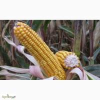 Семена кукурузы гибрид Солонянский 298 СВ