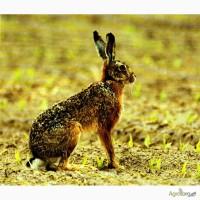 Мясо дикого зайца