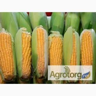Любава 279 МВ среднеранний гибрид кукурузы ФАО 270